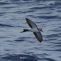 Kermadec storm petrel. Photo by Gareth Rapley.