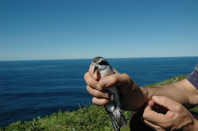 The first Kermadec storm petrel found breeding on Haszard Island in 2006. It's so little and cute! Photo by Karen Baird